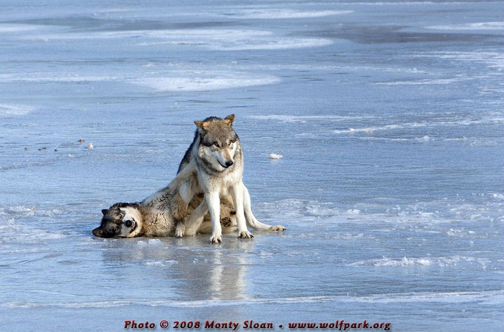 A Photograph of a wolf sitting on another.
