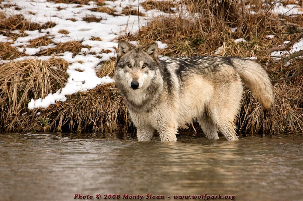 A wolf half submerged in water (Wolfgang).