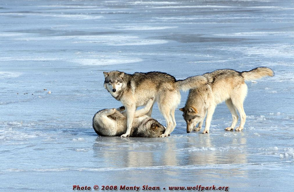 Three playful wolves.