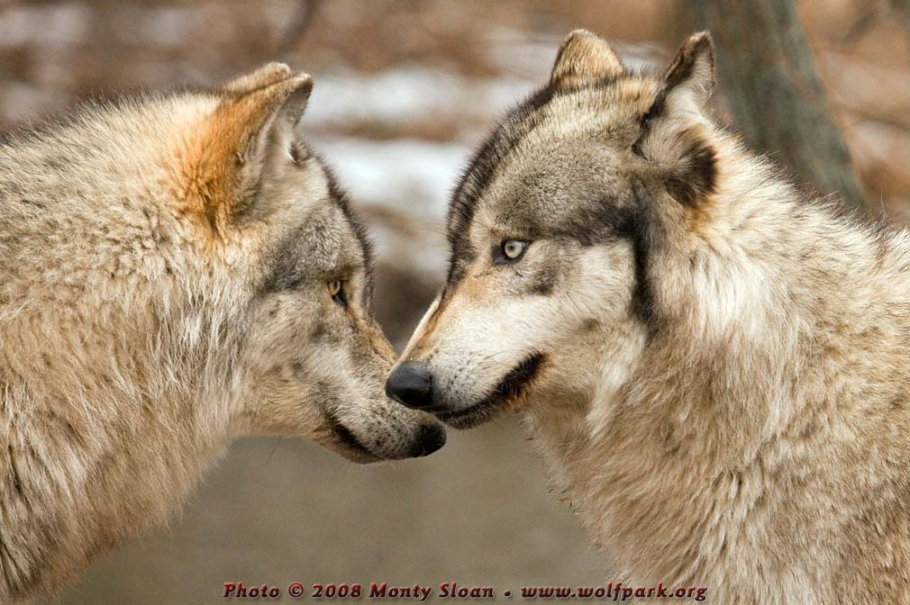 Two wolves facing each other.
