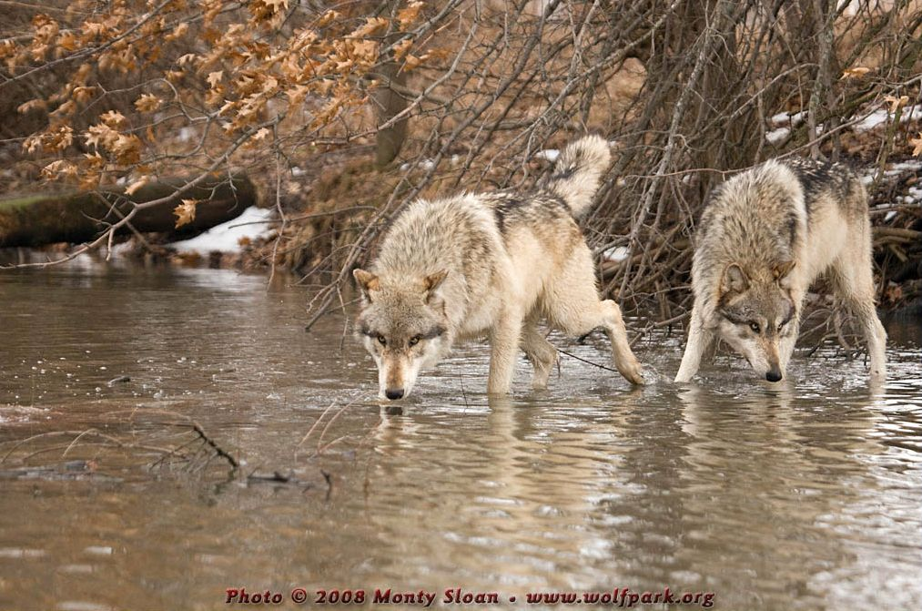 Two wolves sniffing at the water.