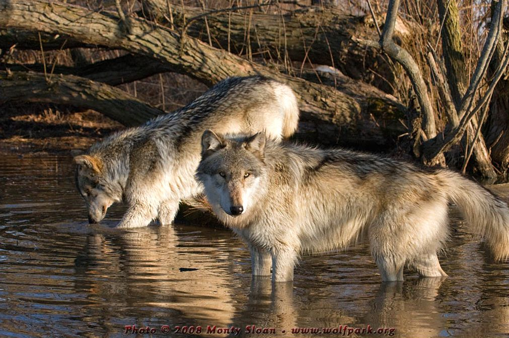 A Photograph of two wolves knee-deep in water.