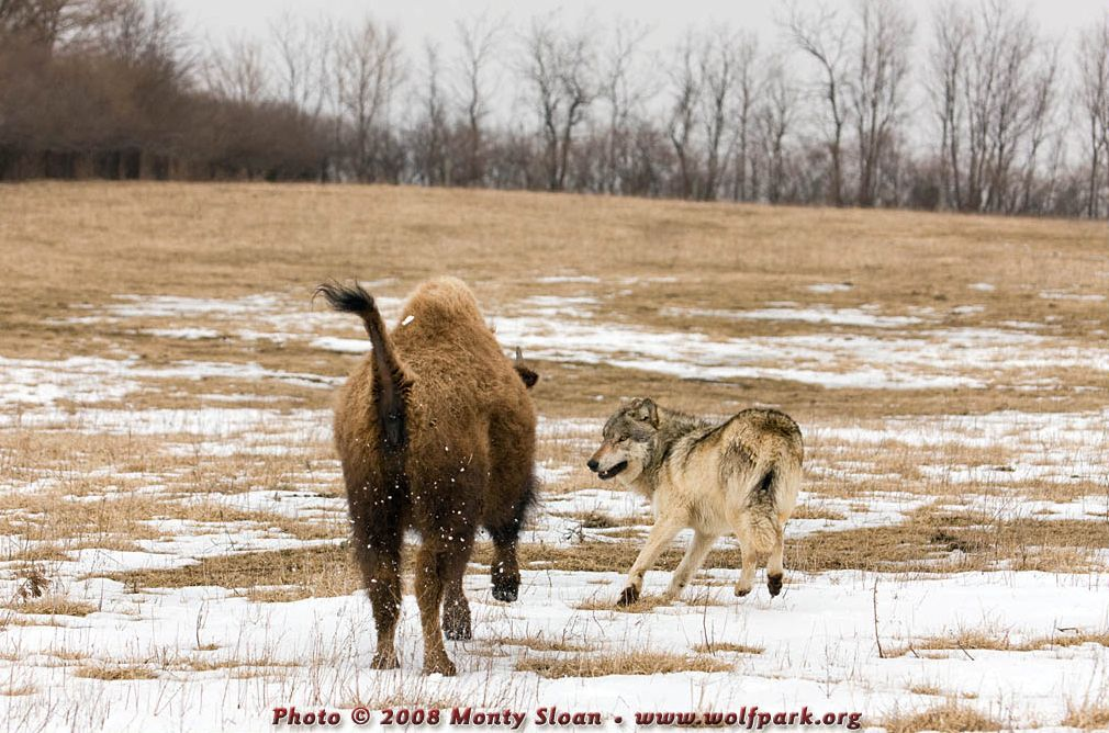 A Wolf Being Chased by a Bison.