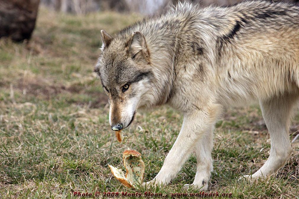A side view of a wolf eating.