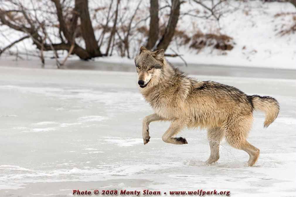 A leaping wolf.