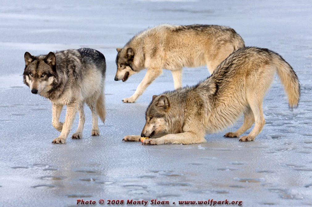 Three wolves, with one of them eating.