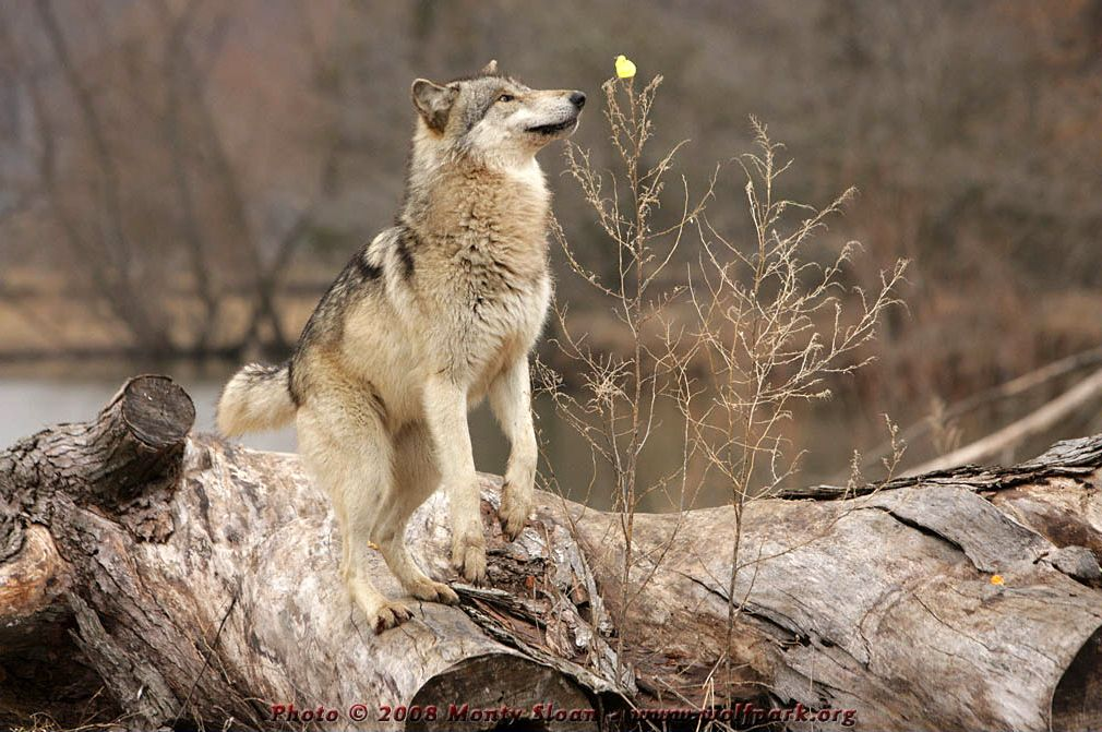 Wolf Photographs Wolf Wotan Reaches For The Yellow Peep