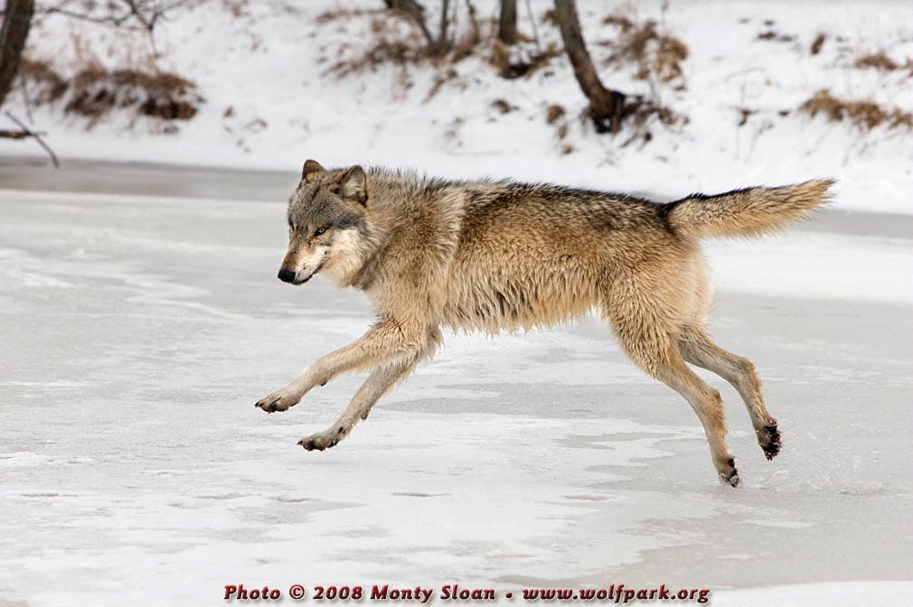 A wolf running about on a frozen pond.