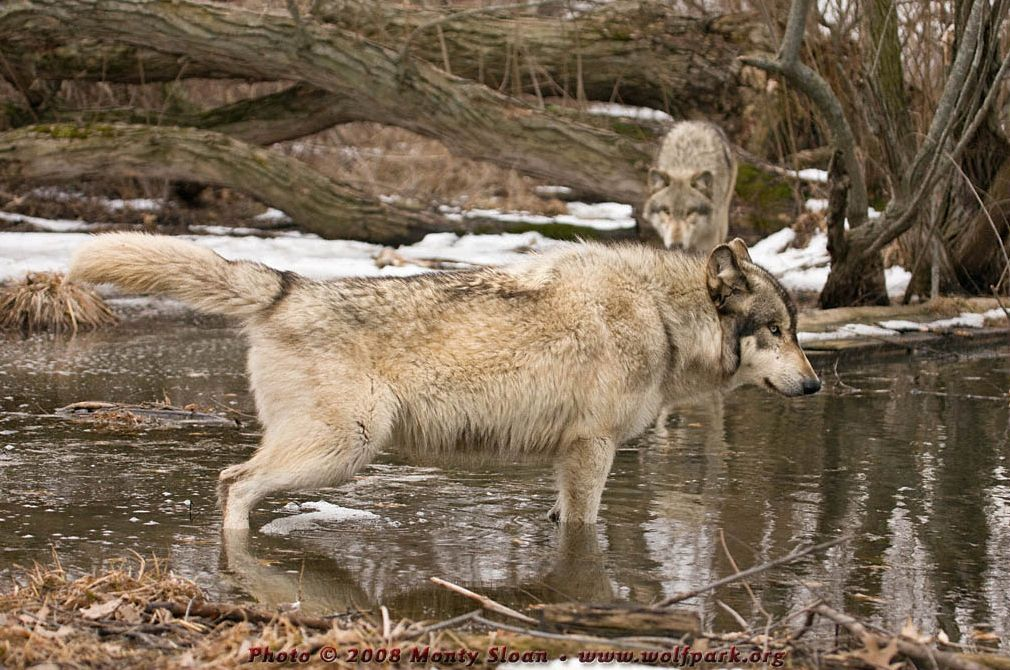 A wolf peeing (Wotan).