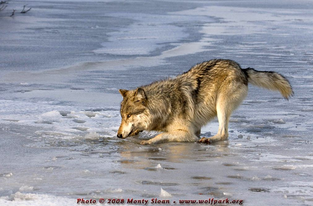 A wolf breaking through the ice.