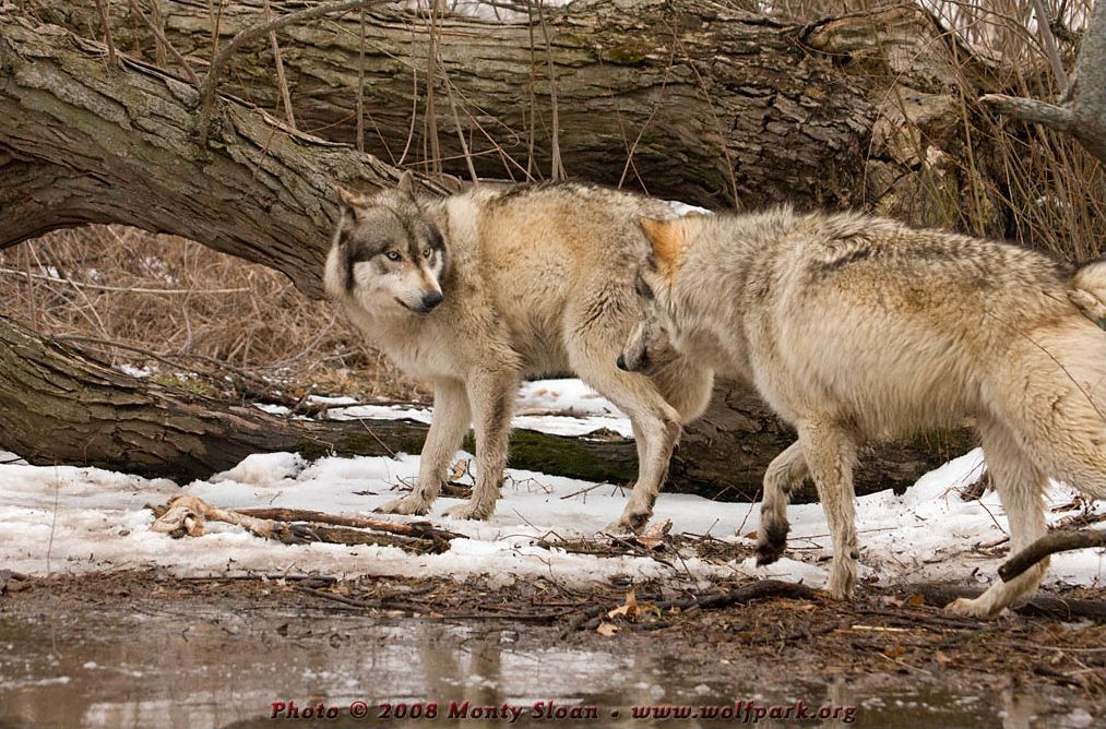 A photograph of a wolf threatening another.