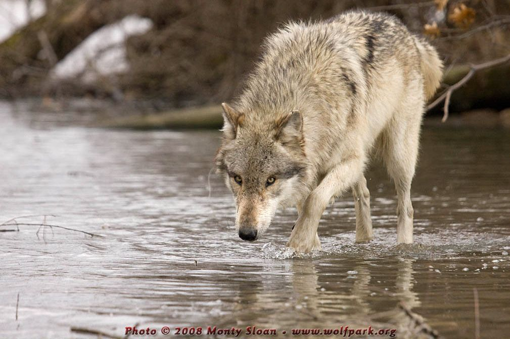A wolf on water.