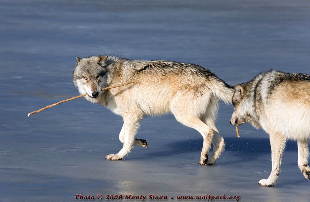 Wolves with Chew-Sticks.