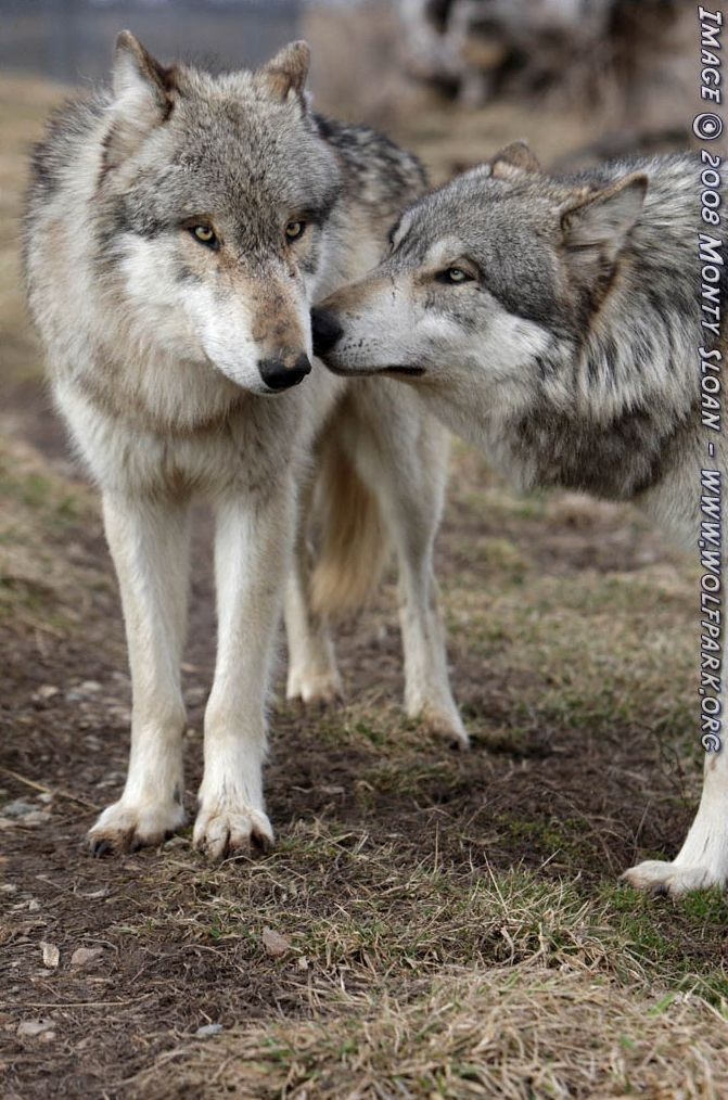 Two wolves greeting each other.