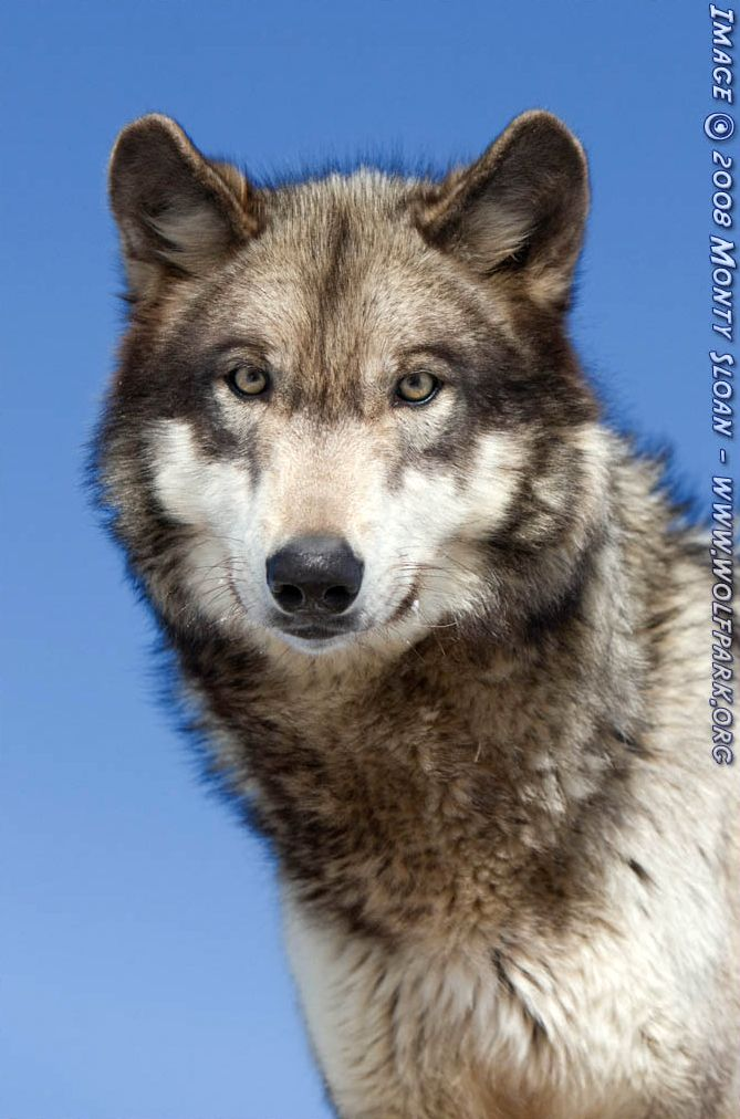 A Photograph of a cute wolf.