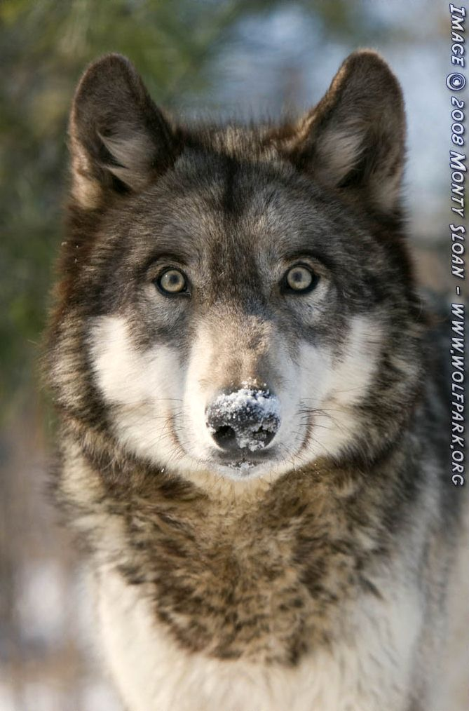 A wolf with with Snow on her nose.