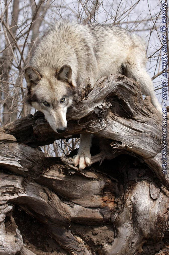 A wolf looking down from a rootball.