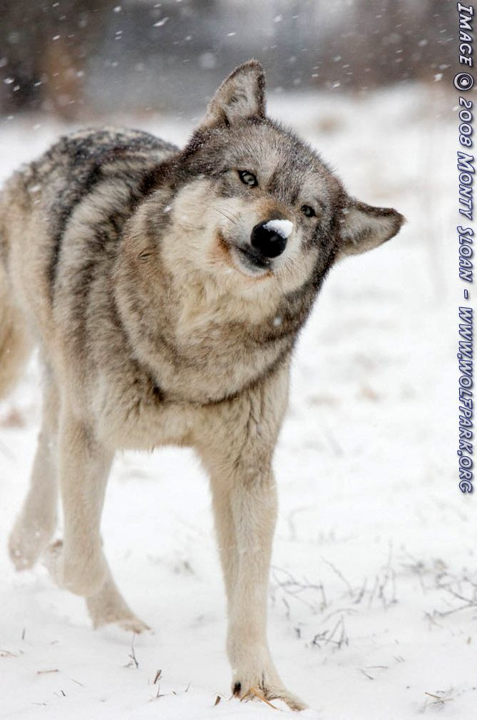 A wolf shaking off the snow.