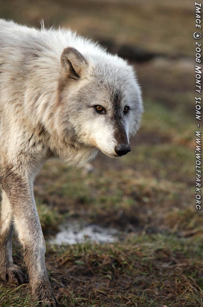 A Photograph of a wolf called Miska.