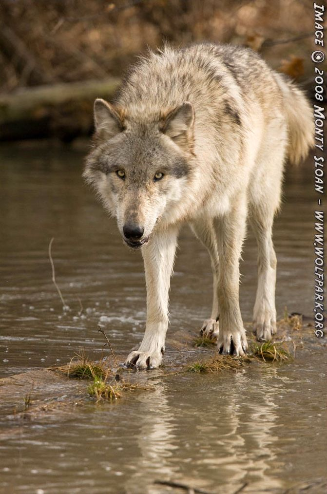 A wolf standing on a submerged log.