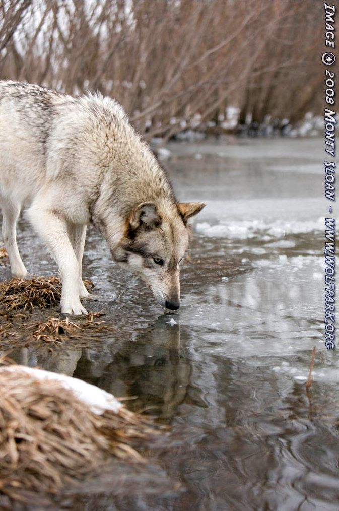A wolf with reflection.