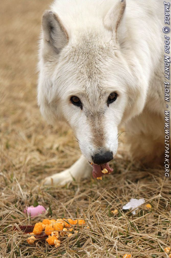 A Photograph of a wolf eating.