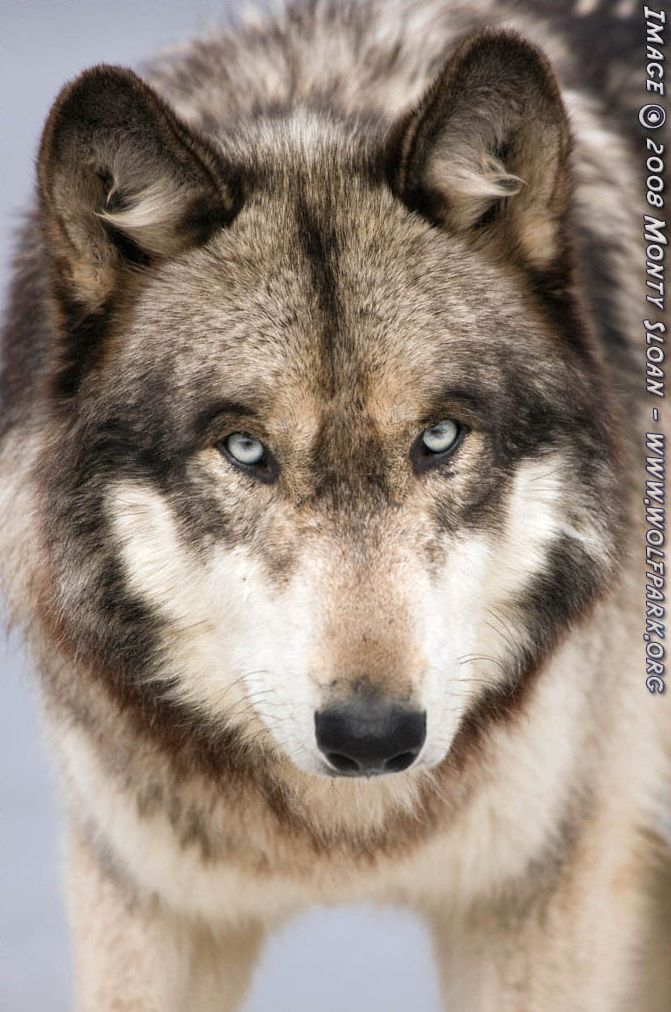 A portrait of a wolf (Ruedi).