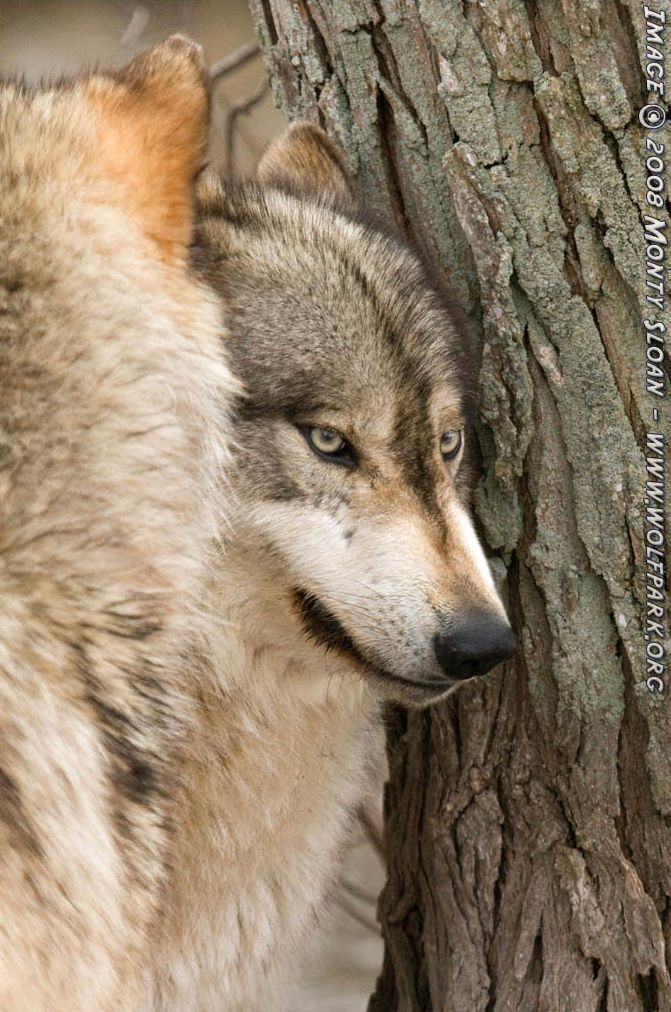 A Photograph of a sneering wolf.