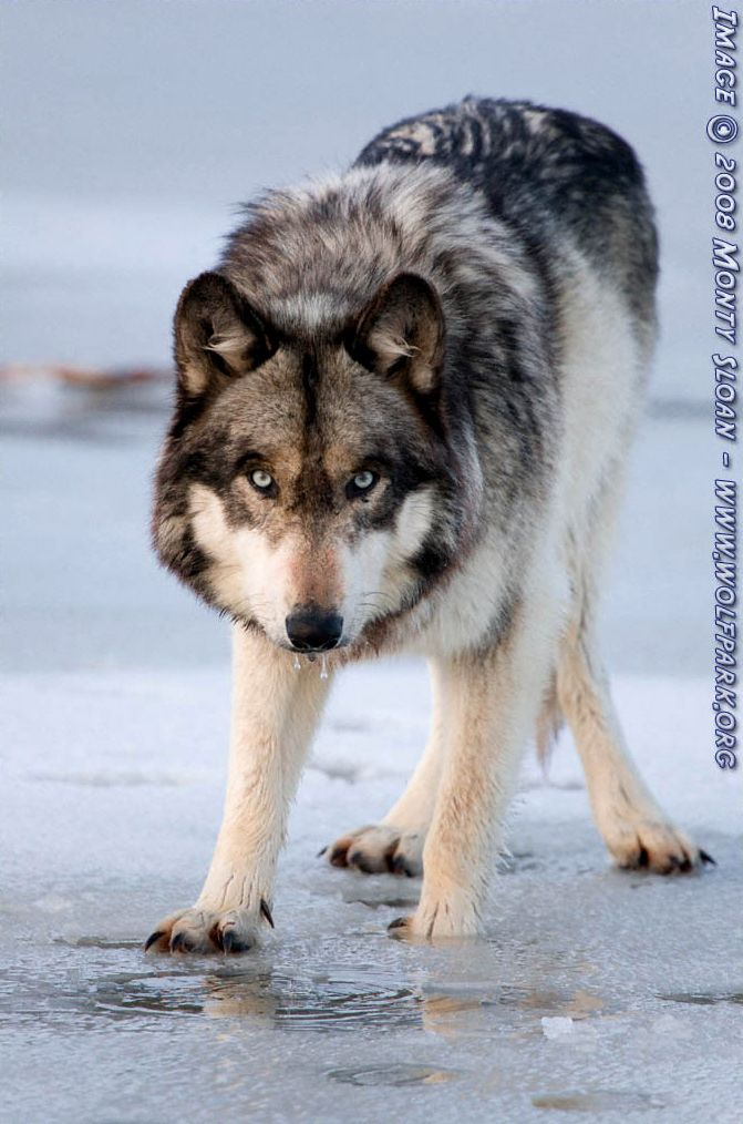 A Photograph of a wolf face on (Ruedi).