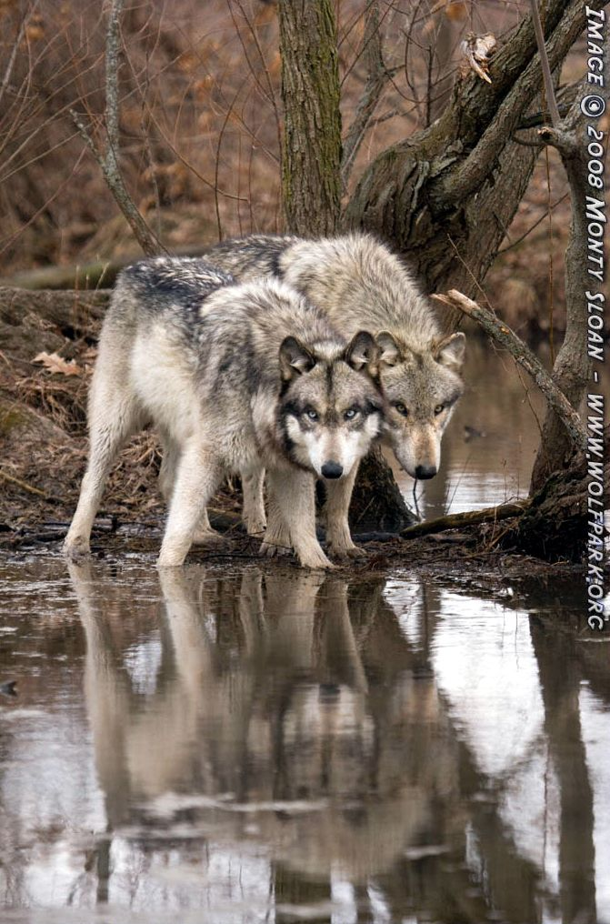A Photograph of wolves reflecting in water.