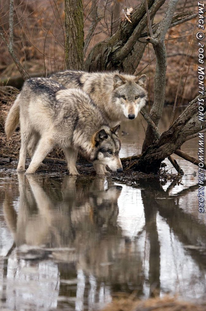 Wolves with reflections.