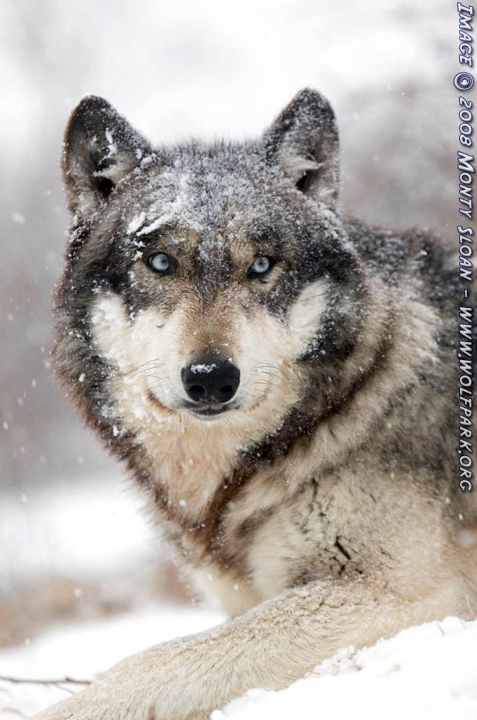 A snow covered wolf (Ruedi).