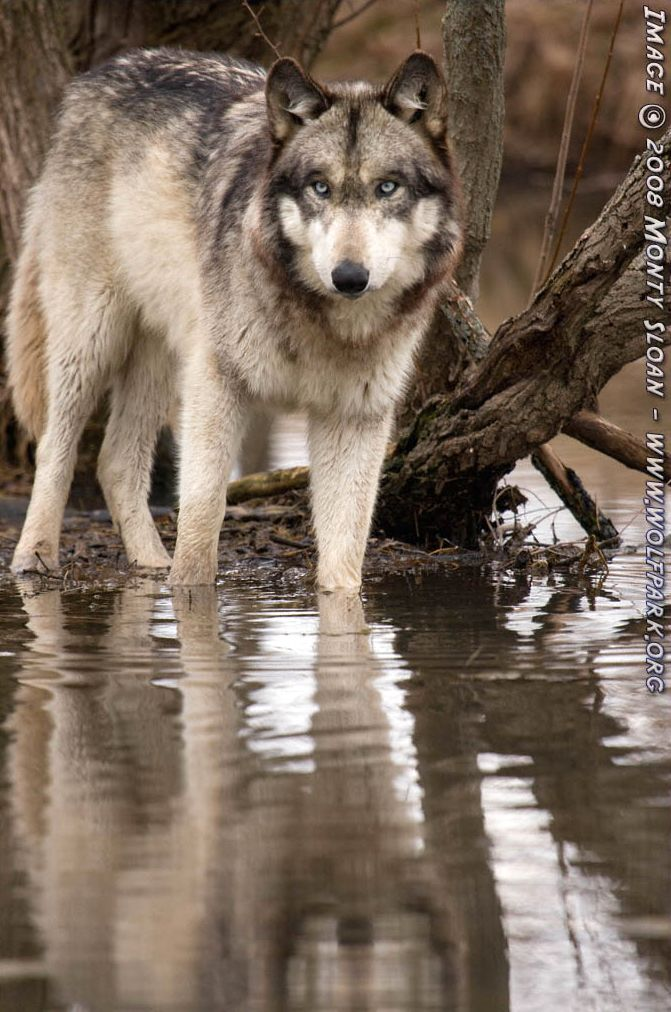 A wolf stepping into the pond (Ruedi).