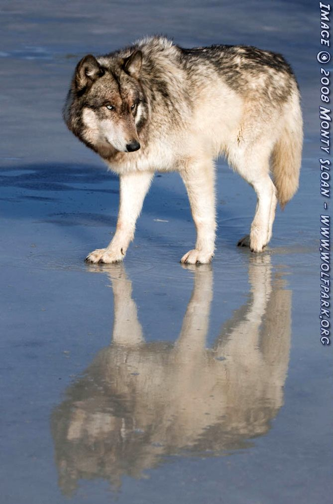 A Wolf's Reflection.