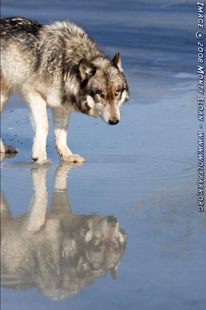 A Wolf with a reflection.
