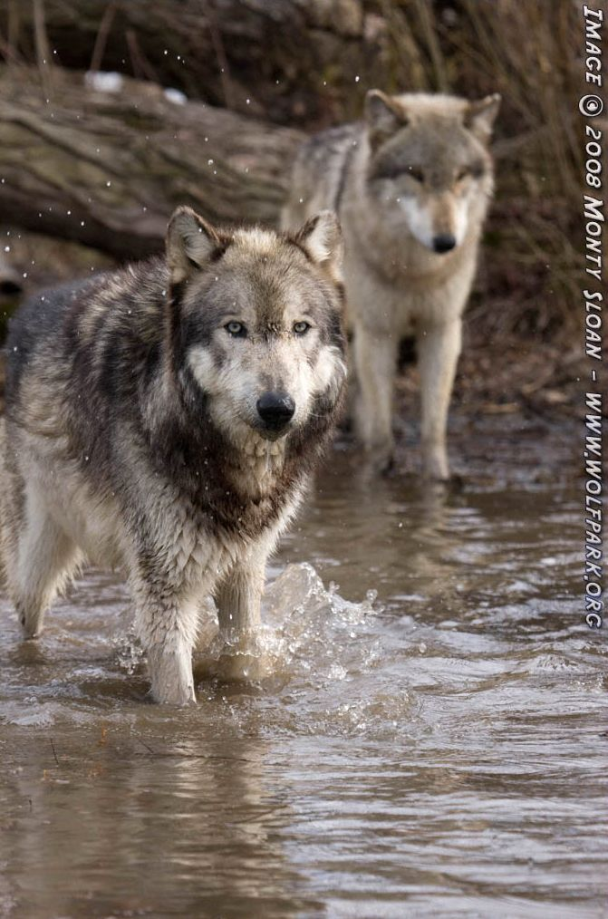 Two wolves in water.