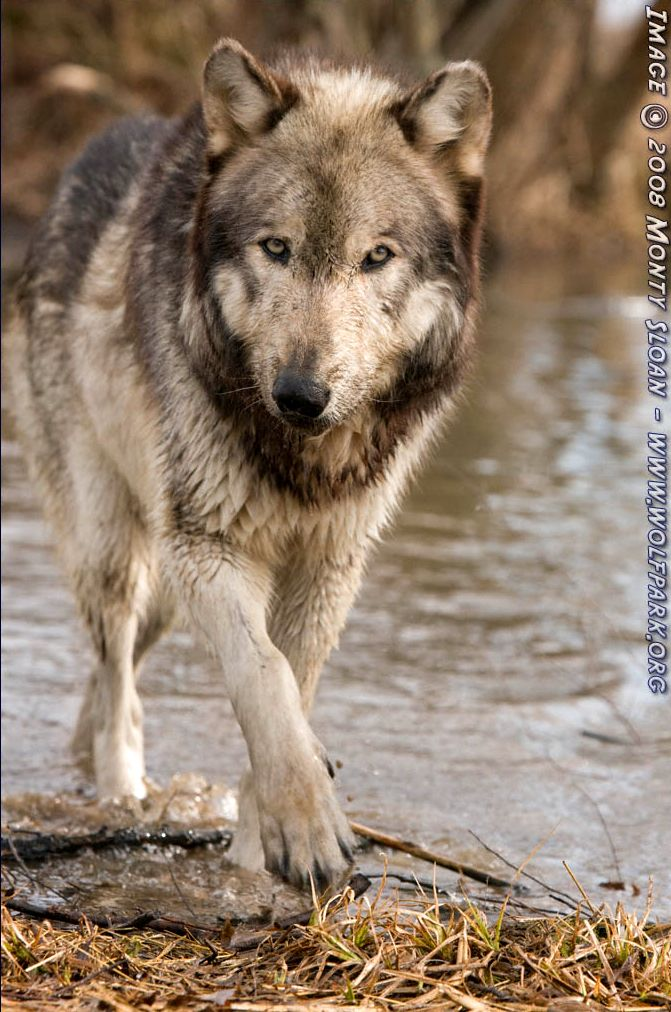 A wolf walking along the waters edge.
