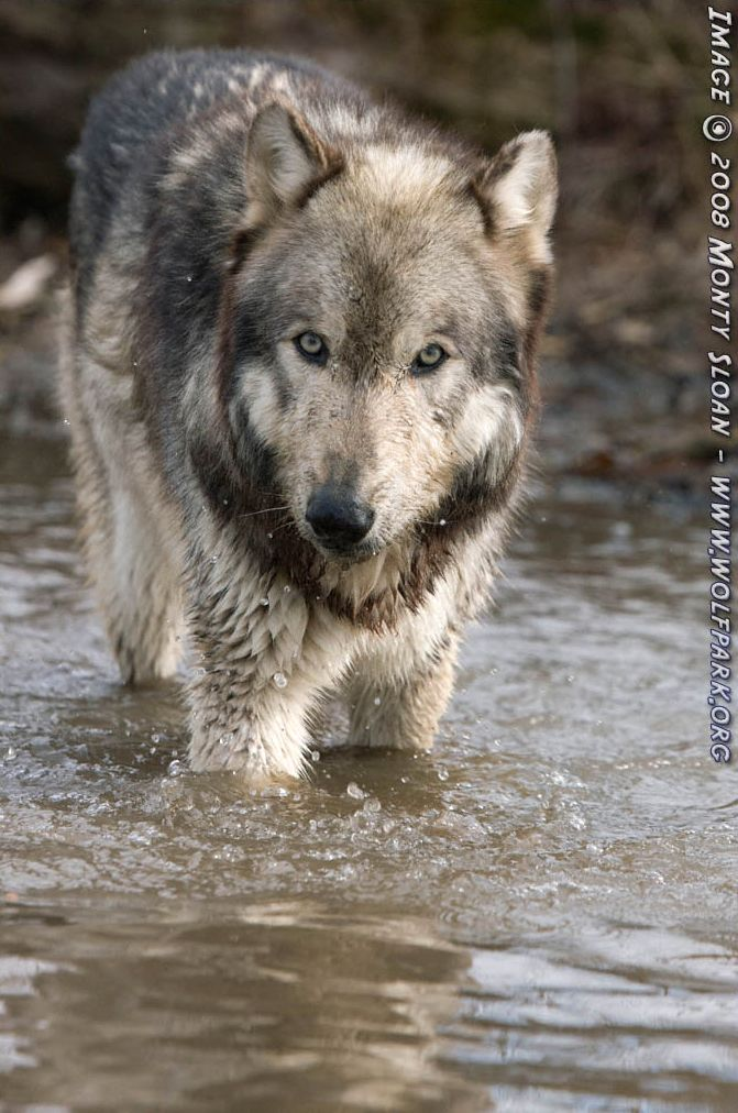 A wolf deep in water.