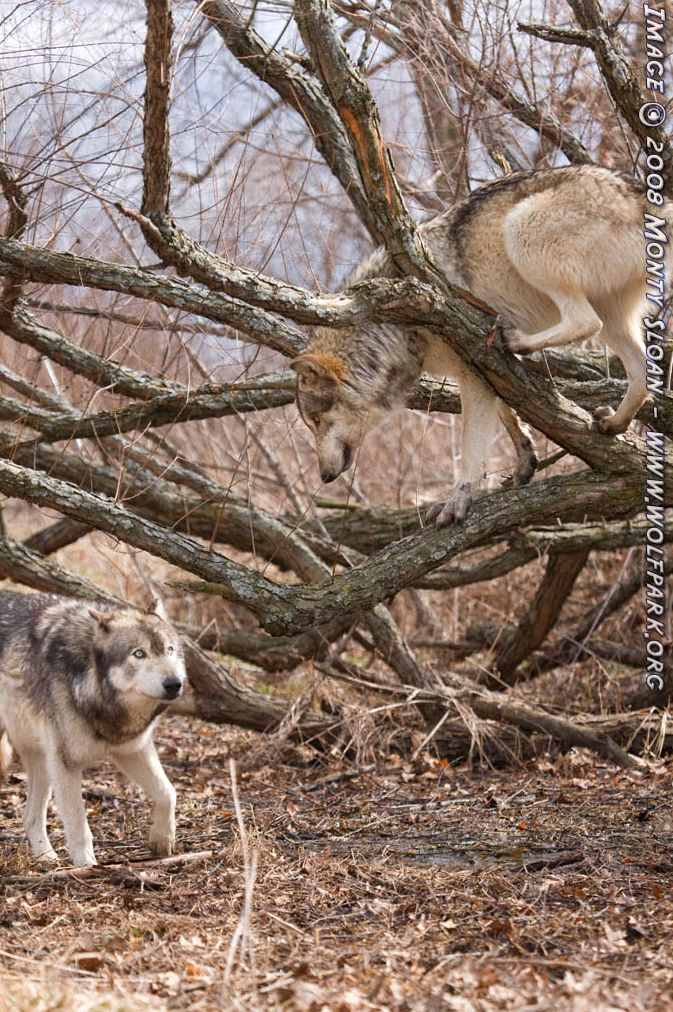 Two wolves, one in a tree.