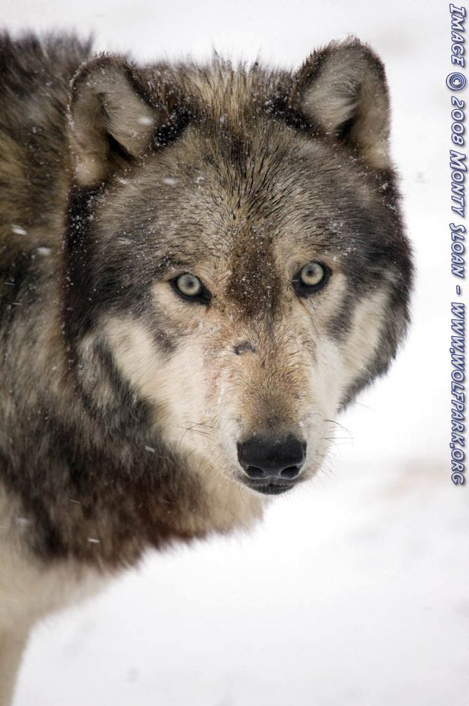 A close up of a wolf.