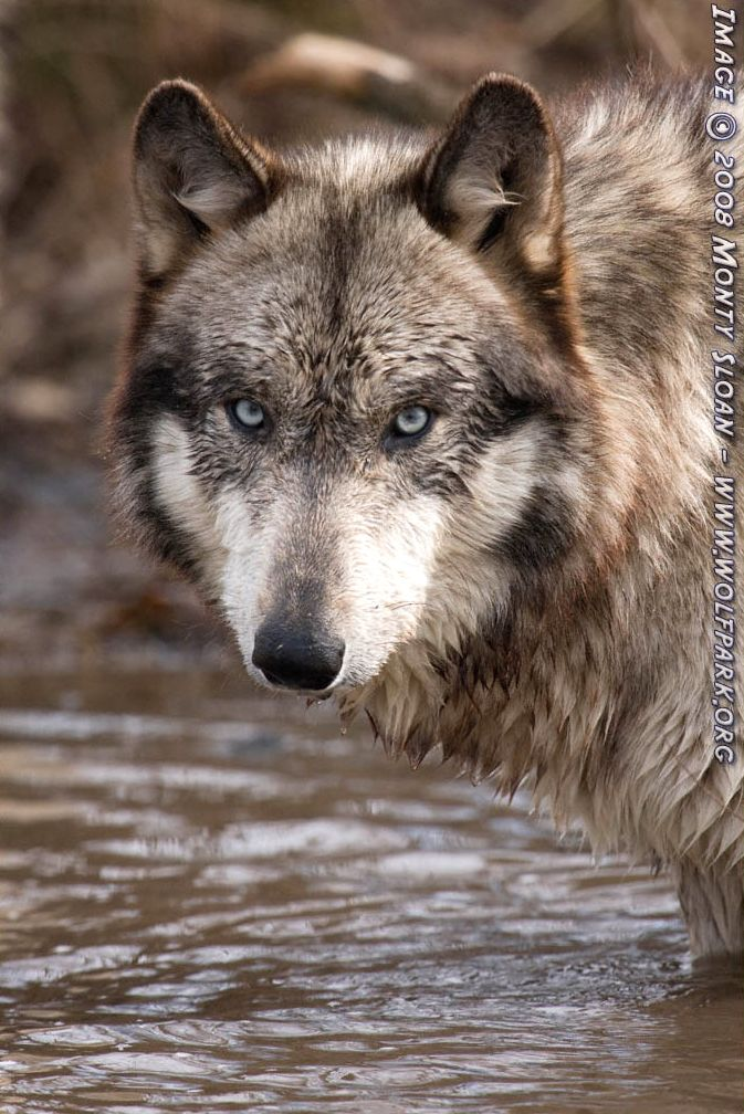 A wet wolf in a pond.