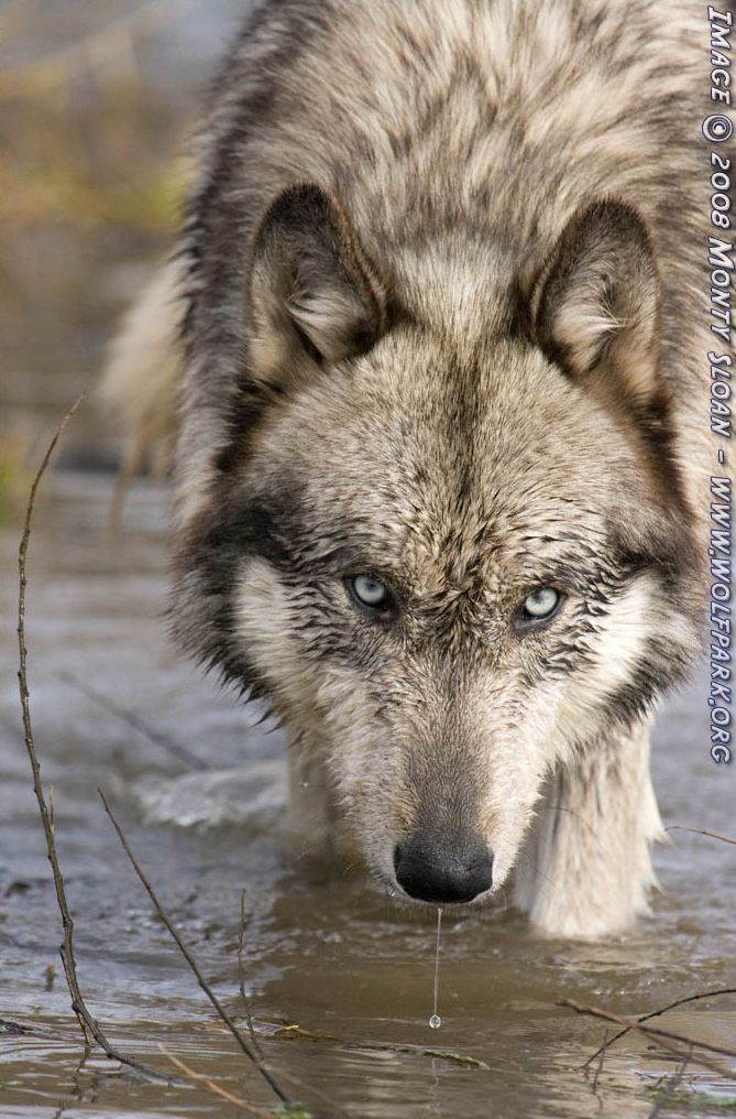 A Photograph of a wet wolf in the water.
