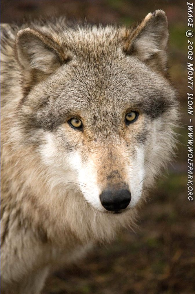A wet looking wolf.