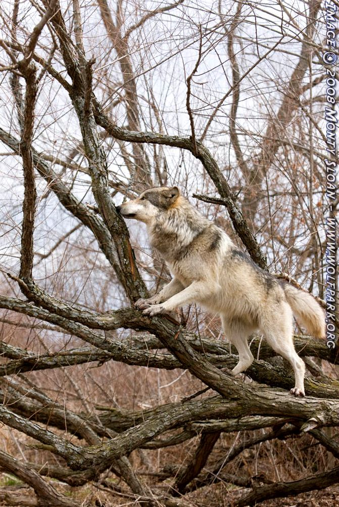 A wolf climbing a willow tree.