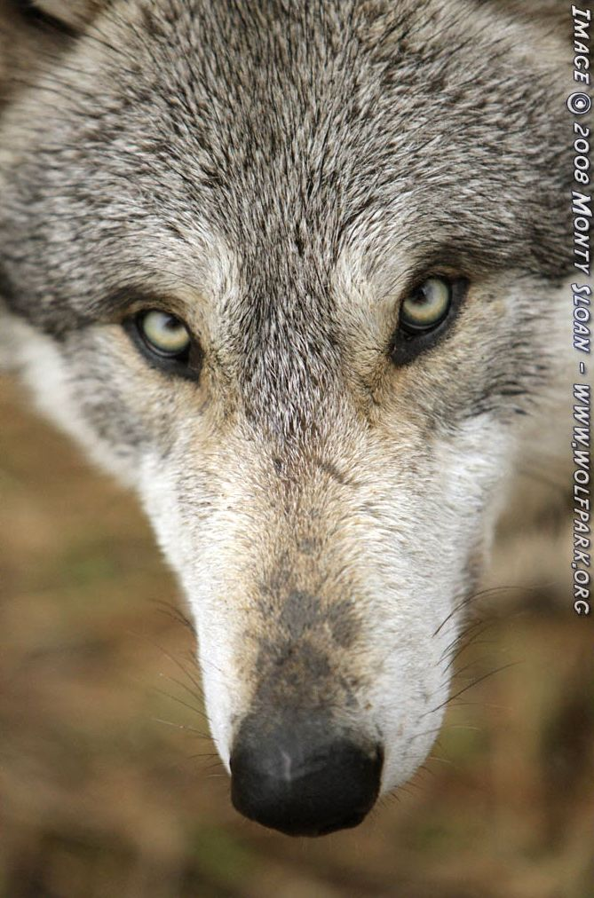 A close up of a wolf's head.