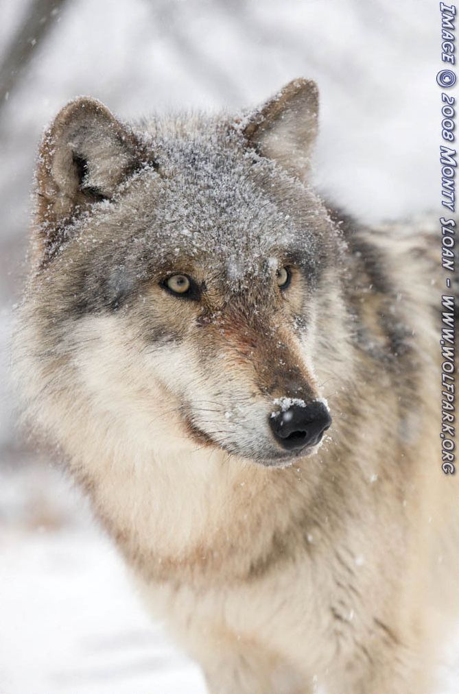 A Snow Covered Wolf.