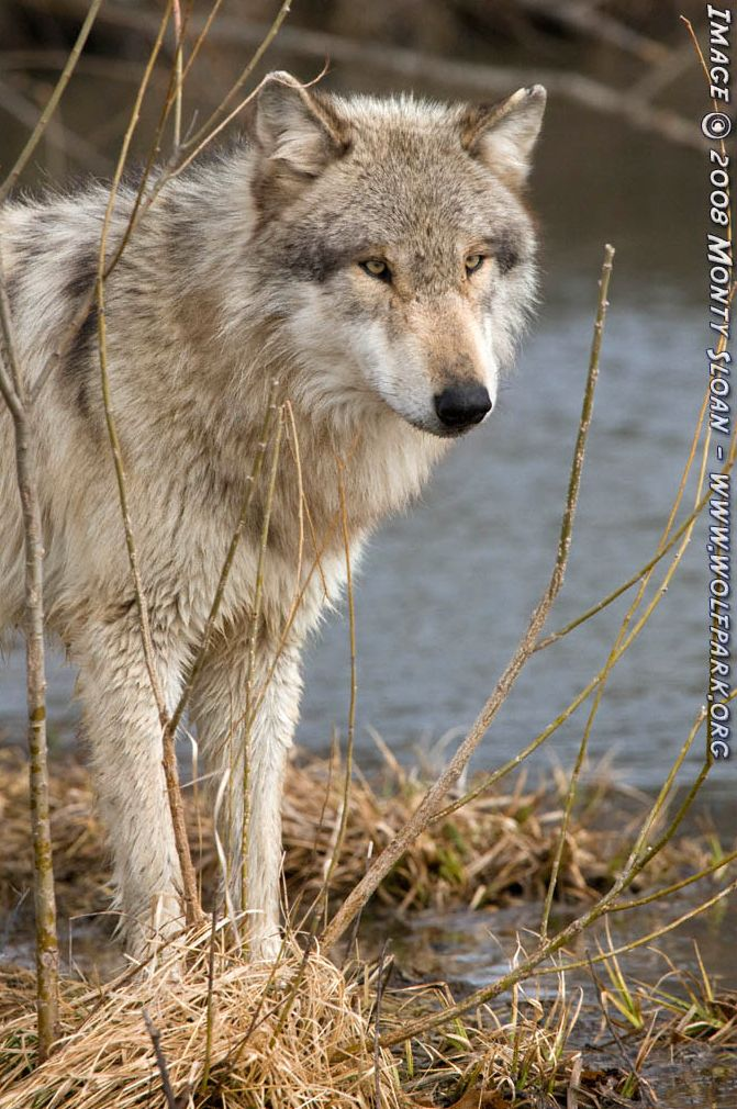 Wolf photograph : Wotan Posing by The Water [1].