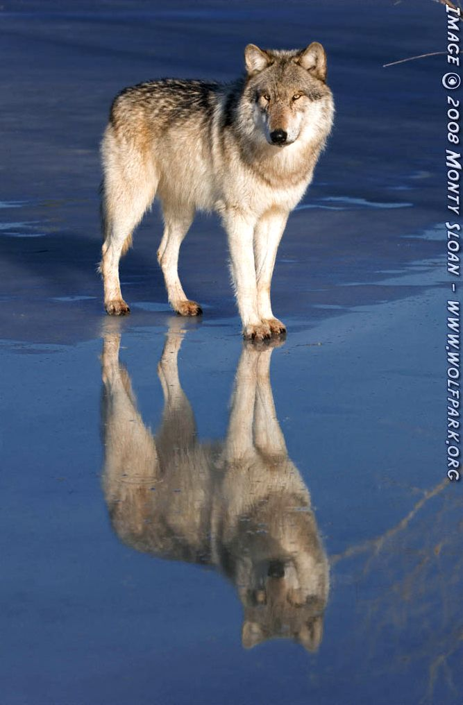 Wolf photograph : Wotan Reflecting as The Pond Turns Very Blue.