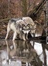 A wolf in shallow water.