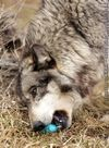 A wolf chewing.